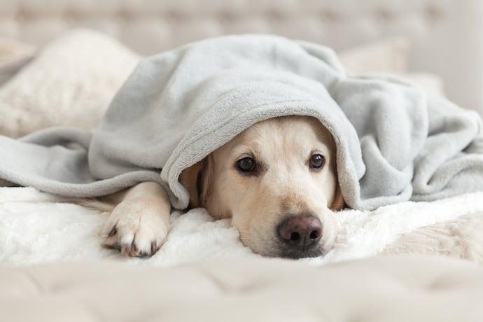 โรคซึมเศร้าในสนัข